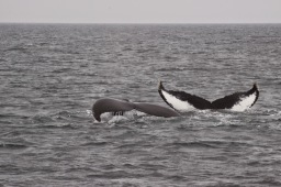 Whale Watching – 2 failed attempts, 3rd time lucky!