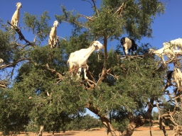 The tree climbing goats of Morocco